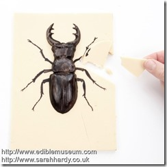 Chocolate-Stag-Beetle
