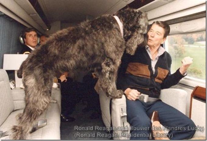 President Reagan and Bouvier des Flandres Lucky