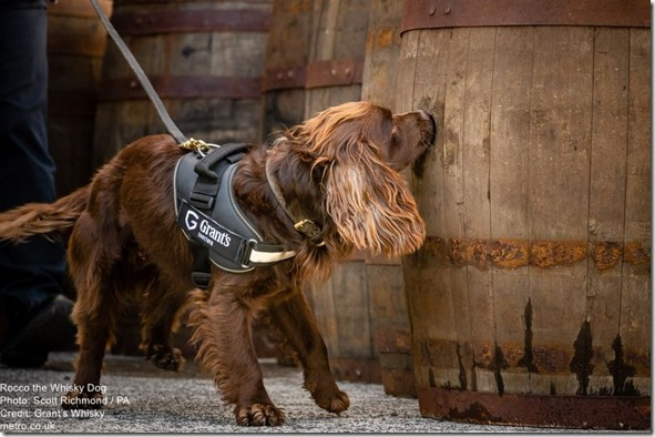 Rocco the Whisky Dog on duty